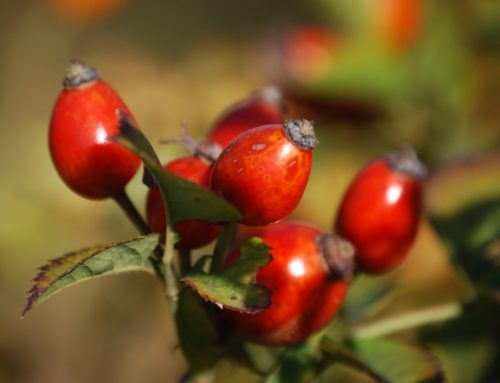Recipe for Scar Tissue Oil using Rosehip